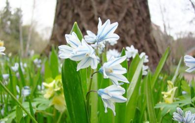 Прикрепленное изображение: Нарциссы рода Puschkinia Adams.jpg