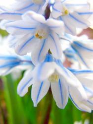 Прикрепленное изображение: Нарциссы рода Puschkinia Adams_1.jpg